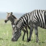 Junger Zebra und seine Mutter beim Serengeti lizenzfreies stockbild
