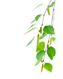 Junger Zweig der Birke mit den Knospen Lizenzfreie Stockfotografie