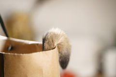 Junges abyssinisches Katzenendstück in der Tasche auf Tabelle Lizenzfreie Stockbilder