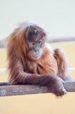 Junges Affe-Orang-Utan Stockfoto