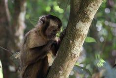 Junges Affe sapajus auf dem Baum stockbild