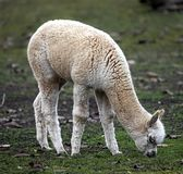 Junges Alpaka Lizenzfreie Stockfotografie