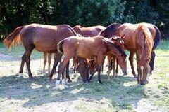 Junges Anglo Araberfohlen- und -stutenweiden lassen ruhig zusammen auf einem Pferdebauernhof lizenzfreies stockbild