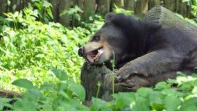 Junges asiatisches Schlafen des schwarzen Bären stock video