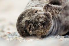 Junges atlantisches Grey Seal-Porträt Stockbild