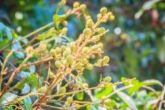 Junges Bündel von Longan auf Baum Grüne kleine Longanfrucht auf Stockbild