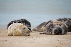 Junges Baby Atlantik Grey Seal Lizenzfreie Stockfotos
