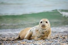 Junges Baby Atlantik Grey Seal Stockfotografie