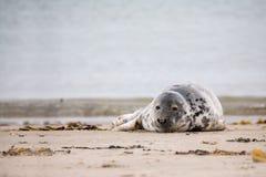 Junges Baby Atlantik Grey Seal Lizenzfreies Stockfoto