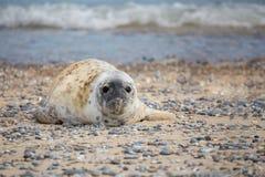 Junges Baby Atlantik Grey Seal Lizenzfreie Stockbilder