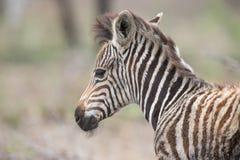 Junges Babyzebra-Fohlenporträt, das allein in der Natur steht Stockbild