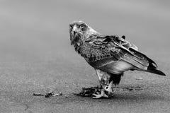 Junges bateleur, Kurzschluss band Adler an Stockbilder