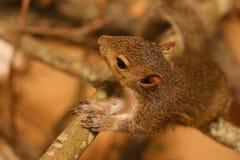 Junges Baum-Eichhörnchen Lizenzfreie Stockbilder