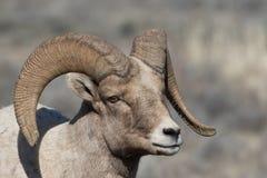 Junges Bighorn-Schaf-RAM Lizenzfreie Stockfotografie