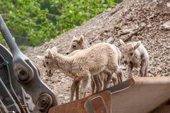 Junges Bighorn-Schaf-Spielen Lizenzfreies Stockfoto