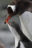Junges Bitten des Gentoo Pinguins um Nahrung, Antarktik lizenzfreies stockbild