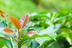 Junges Blatt des Kaffeebaums, Blätter der Arabicakaffee-Forstbaumschuleplantage Stockbild