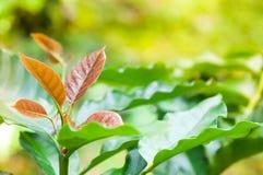 Junges Blatt des Kaffeebaums, Blätter der Arabicakaffee-Forstbaumschuleplantage Lizenzfreies Stockbild