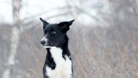 Junges border collie-Porträt stock footage