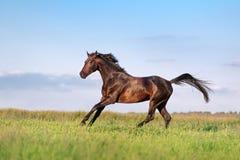 Junges braunes Pferdegaloppieren, springend auf das Feld Lizenzfreie Stockfotos