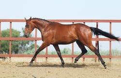 Junges braunes trakehner Pferd Lizenzfreies Stockbild