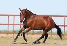 Junges braunes trakehner Pferd Lizenzfreie Stockfotos