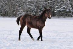 Junges braunfarbiges Pferd mit Schnitzel auf seiner Nase herum gehend stockfotos