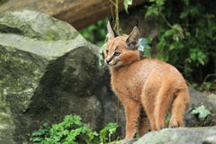Junges caracal Stockfoto