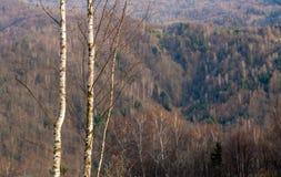 Junges dünnes Suppengrün zwei auf Waldhintergrund Stockbild
