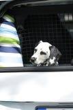 Junges dalmatinisches Sitzen im Autostiefel Lizenzfreies Stockbild