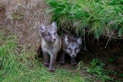 Junges Junges des arktischen Fuchses zwei lizenzfreies stockbild