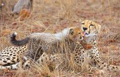 Junges des Geparden (Acinonyx jubatus) Stockfotografie