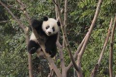 Junges des großen Pandas, das auf dem Baum spielt Lizenzfreie Stockfotos