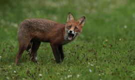 Junges des roten Fuchses lizenzfreie stockbilder