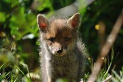 Junges des roten Fuchses, das Kameraobjektiv betrachtet Stockfotografie
