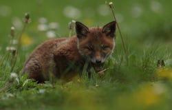 Junges des roten Fuchses mit offenem Mund Lizenzfreie Stockfotos