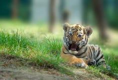 Junges des sibirischen Tigers stockfotografie