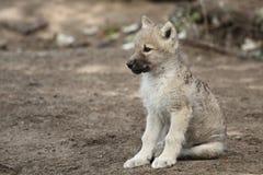 Junges des weißen Wolfs Stockfoto