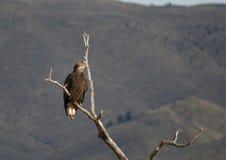 Junges Eagle in einem Baum Stockfotografie