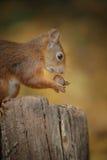 Junges Eichhörnchen lizenzfreie stockfotos