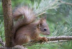 Junges Eichhörnchen Stockbild