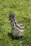 Junges Emu Chick Looking Cute im Gras Stockfotografie