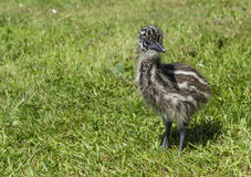 Junges Emu Chick Looking Cute im Gras Stockfotos