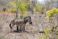 Junges erwachsenes Zebra Stockfoto