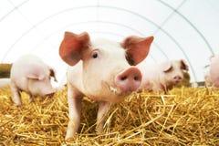 Junges Ferkel auf Heu am Schweinbauernhof Lizenzfreie Stockfotos