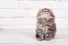 Junges flaumiges Kätzchen schaut sehr froh und ruhig lizenzfreie stockbilder