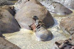 Junges Flusspferd schläft mit offenem Mund Lizenzfreies Stockfoto