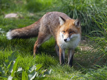 Junges Fuchsjunges Lizenzfreie Stockfotos
