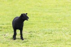 Junges gehörntes schwarzes blökendes Lamm Lizenzfreie Stockfotos