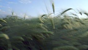Junges Gersten-Feld im Sommer stock footage